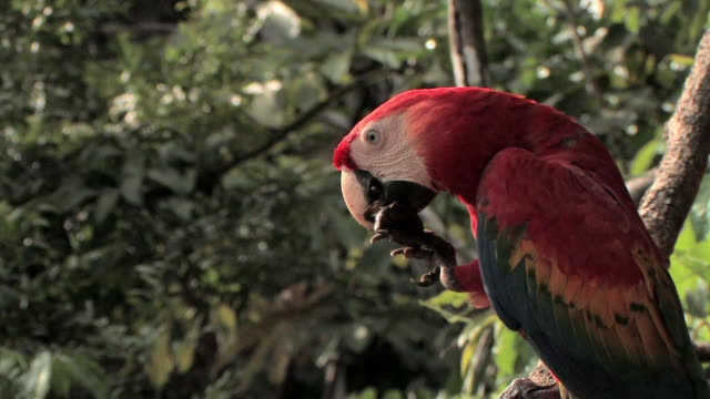 cu zi scarlet macaw (ara macao) eating jungle fruit and using claws to hold it steady in manu national park / peru - ara bildbanksvideor och videomaterial från bakom kulisserna