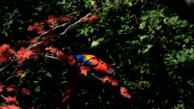 scarlet macaw (ara macao) feeding on tree with red flowers in tropical forest - costa rica video stock e b–roll