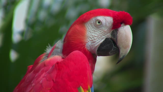 cu, scarlet macaw (ara macao), headshot, moody garden, galveston, texas, usa - scarlet macaw stock videos and b-roll footage