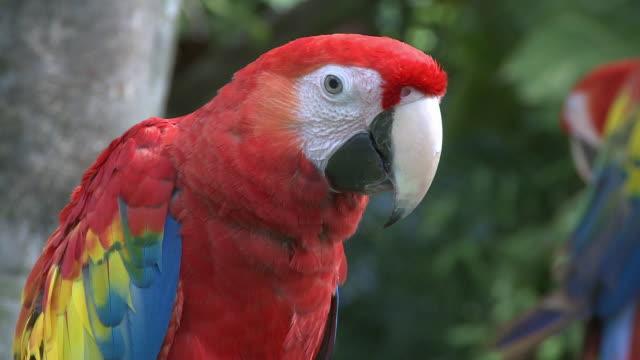 cu, scarlet macaw (ara macao), headshot, playa del carmen, quintanaroo, mexico - scarlet macaw stock videos and b-roll footage