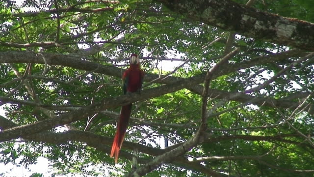 scarlet macaw in the wild - scarlet macaw stock videos and b-roll footage