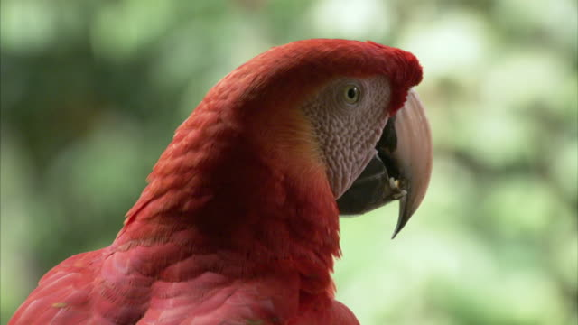ecu scarlet macaw looking around / chaparrì_ ecological reserve, n/a, peru    - scarlet macaw stock videos and b-roll footage
