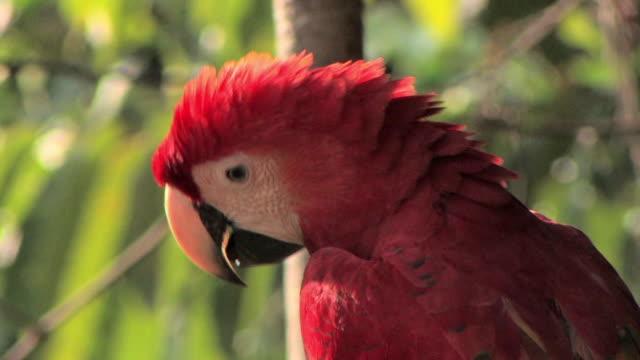 CU scarlet macaw looking around in tree/ Manu National Park, Peru