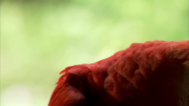 a scarlet macaw looks around. - macaw stock videos & royalty-free footage
