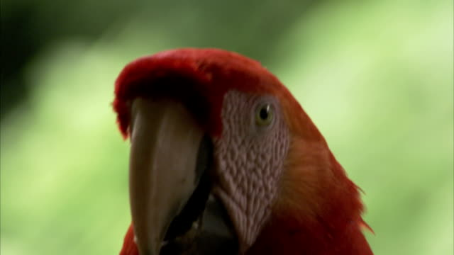 a scarlet macaw looks around while perched. - macaw stock videos & royalty-free footage
