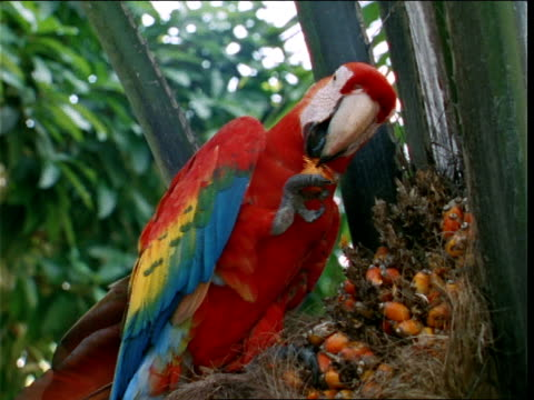 a scarlet macaw munches berries as it perches in a tree. - parrot stock videos & royalty-free footage