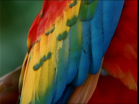 a scarlet macaw munches berries. - macaw stock videos & royalty-free footage