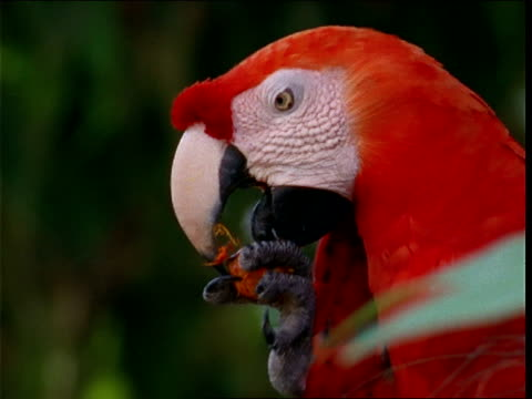 a scarlet macaw munches on berries. - scarlet macaw stock videos and b-roll footage