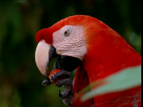 a scarlet macaw munches on berries. - macaw stock videos & royalty-free footage