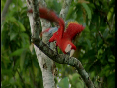 mcu scarlet macaw on branch, zooming out as flies through forest, south america - scarlet macaw stock videos and b-roll footage