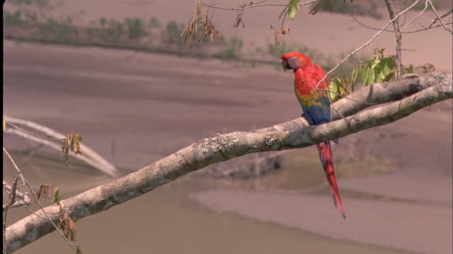scarlet macaw on tree branch over river, south america available in hd. - scarlet macaw stock videos and b-roll footage
