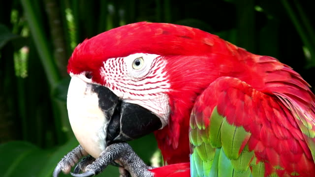scarlet macaw parrot grooming. close up portrait in tropical setting. - scarlet macaw stock videos and b-roll footage