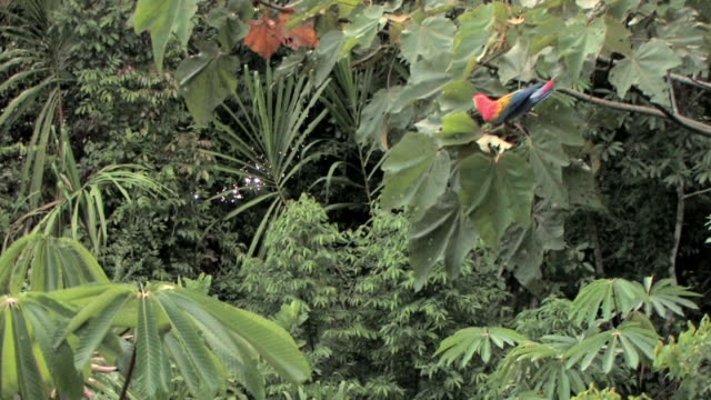 WS Scarlet Macaw (Ara macao) perching in tropical tree as another macaw flies by in lush rainforest in Manu National Park / Peru