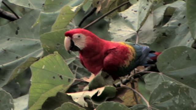 ms scarlet macaw (ara macao) perching in tropical tree in manu national park / peru - scarlet macaw stock videos and b-roll footage