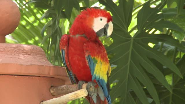 ms, scarlet macaw (ara macao), playa del carmen, quintanaroo, mexico - scarlet macaw stock videos and b-roll footage