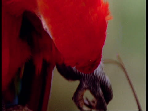 bcu scarlet macaw preening leg feathers and wing, south america - preening stock videos & royalty-free footage