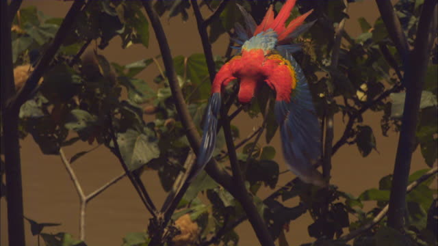 SLOMO HA Scarlet Macaw takes off from branch