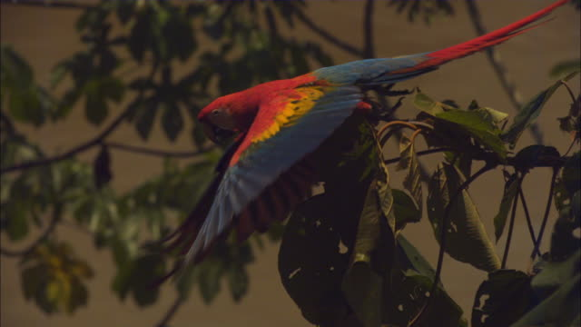 slomo ha scarlet macaw takes off from branch - macaw stock videos & royalty-free footage