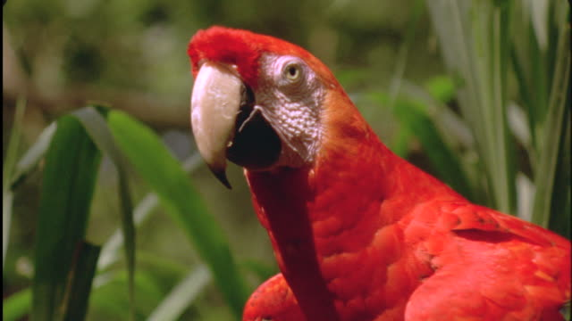 scarlet macaw takes off, south america available in hd. - scarlet macaw stock videos and b-roll footage