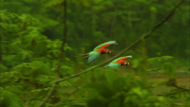 SLOMO PAN 2 Scarlet macaws flying and gliding with trees in foreground