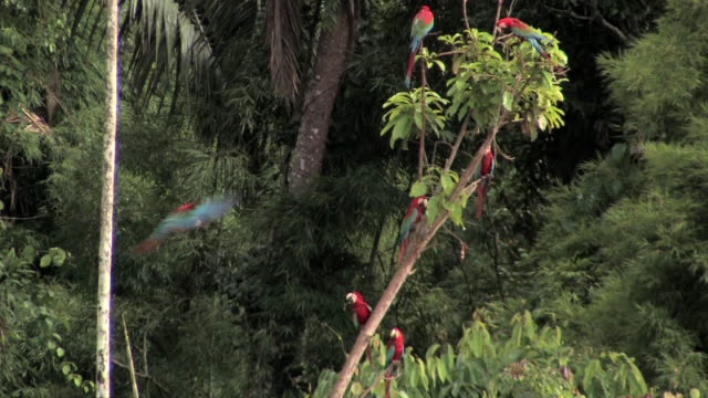 ws scarlet macaws (ara macao) flying, landing and perching in tree in lush rainforest in manu national park / peru - tropical rainforest stock videos & royalty-free footage
