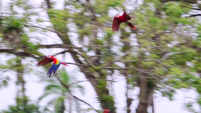 scarlet macaws flying left, slow motion, costa rica - parrot stock videos & royalty-free footage