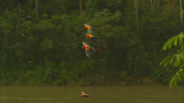 slomo pan 2 scarlet macaws flying up river - macaw stock videos & royalty-free footage