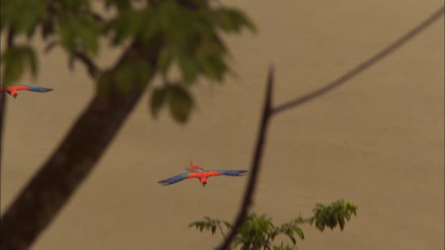 slomo ws 2 scarlet macaws glide in to land in tree - scarlet macaw stock videos and b-roll footage