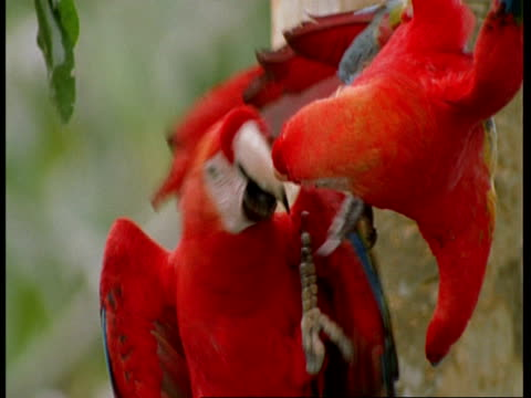 cu 2 scarlet macaws play fighting, one dangling above other, south america - scarlet macaw stock videos and b-roll footage