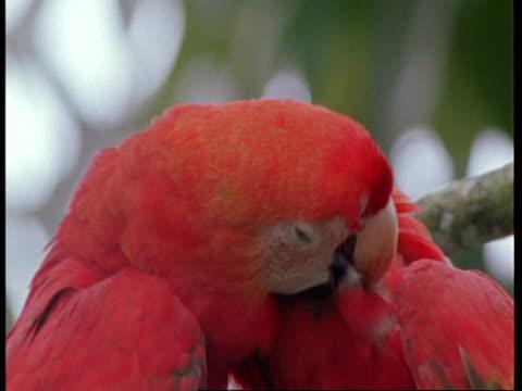 cu 2 scarlet macaws preening each other, south america - preening stock videos & royalty-free footage
