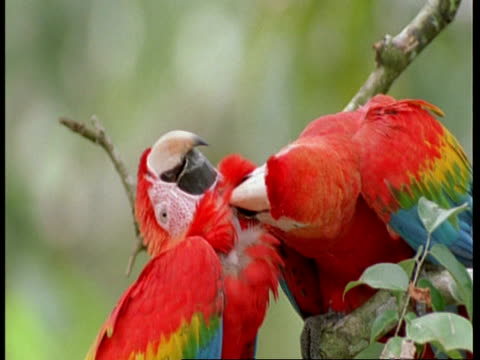 cu 2 scarlet macaws preening each other, south america - scarlet macaw stock videos and b-roll footage