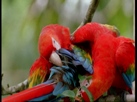 mcu 2 scarlet macaws preening each others tail feathers, south america - scarlet macaw stock videos and b-roll footage