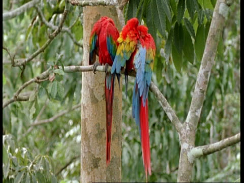 ms 2 scarlet macaws preening themselves then each other, south america - scarlet macaw stock videos and b-roll footage