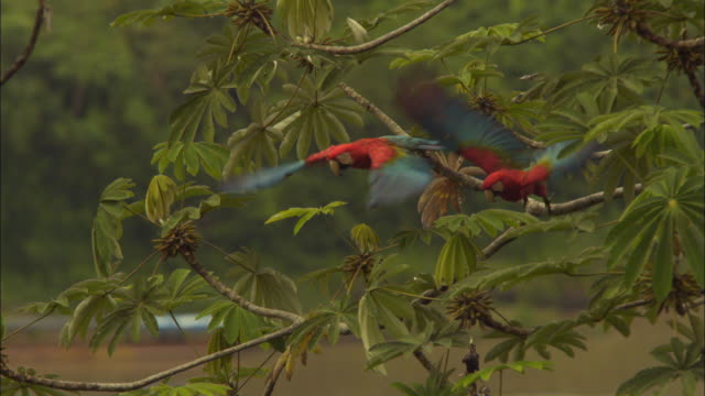 slomo 2 scarlet macaws take off from branch - scarlet macaw stock videos and b-roll footage