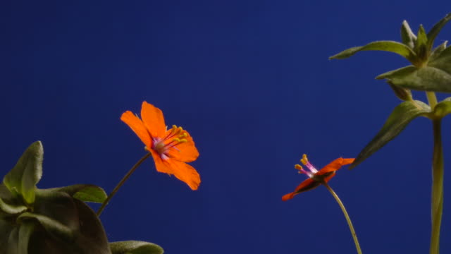 t/l scarlet pimpernel (anagallis arvensis) flowers opening and closing, cso blue, mcu, coastal flower in the uk - wildflower stock videos & royalty-free footage