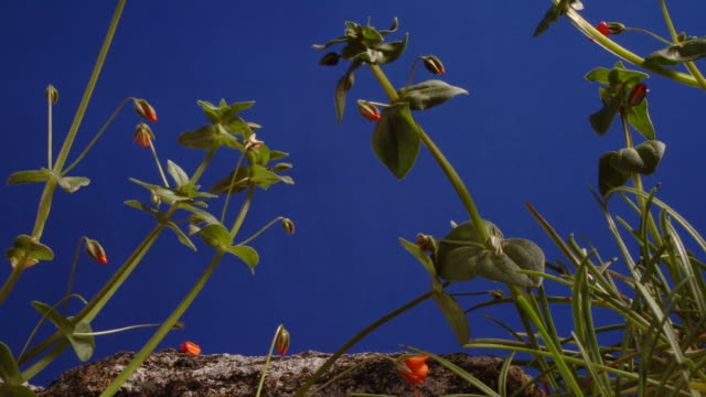 t/l scarlet pimpernel (anagallis arvensis) stems growing, flowers opening and closing, cso blue ms, coastal flower in the uk - wildflower stock videos & royalty-free footage