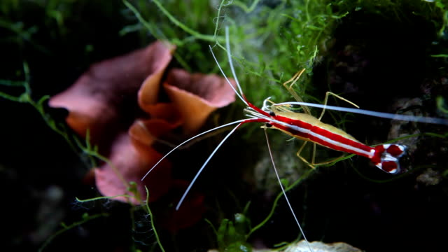 Scarlet Skunk Cleaner Shrimp