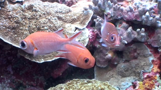 Scarlett Soldierfish and Tailspot Squirrelfish hovering over the reef