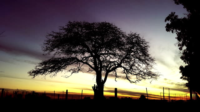 scary tree silhouette with sunset timelapse