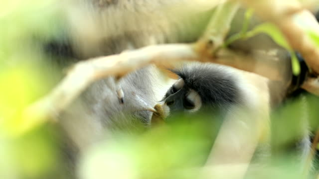 scene cute of baby dusky langur sucking milk from mother dusky langur on tree branch in the forest - south east asia stock videos & royalty-free footage