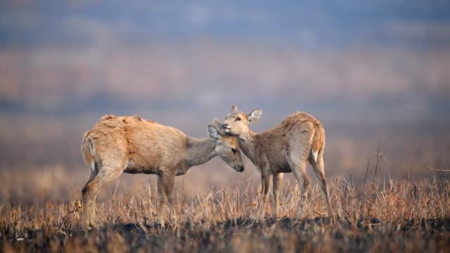 scene cute of mother and baby hog deers in meadow, animal in the wild - doe stock videos & royalty-free footage