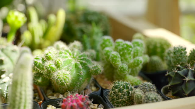 scene dolly shot of small decoration cactus pot on wooden table at home - cactus video stock e b–roll