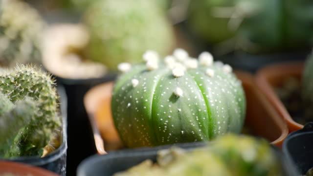 vidéos et rushes de scène dolly tir de petit pot de cactus de décoration sur la table en bois à la maison - cactus pot