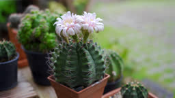 Scene dolly shot of Small decoration cactus pot on wooden table at home