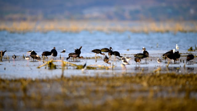 scene group of glossy ibis water bird moves along the swamp, animal in the wild - water bird video stock e b–roll
