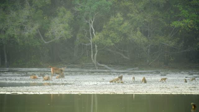 自然の中での猿の飲み物のシーングループ、野生の動物 - 突き出た鼻点の映像素材/bロール