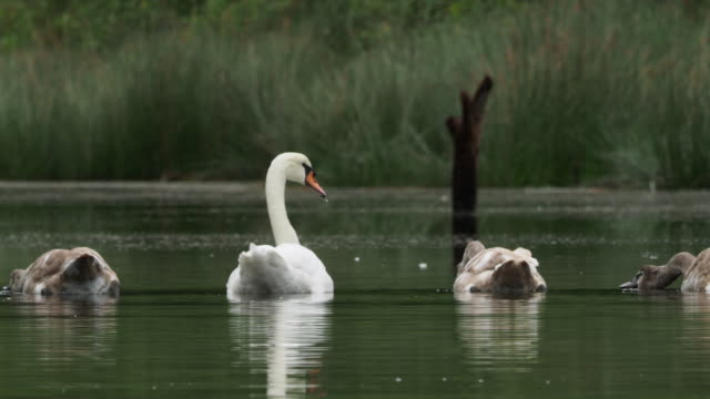 vídeos y material grabado en eventos de stock de scene of a family of mute swan, adults and chickens, captured at water level, feeding on the surface of the water. cignus olor. - cisne blanco común