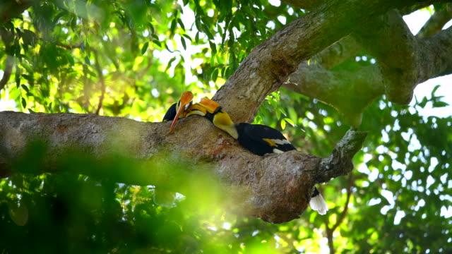 vídeos y material grabado en eventos de stock de escena de gran cuerno hacer pliegue de amor en el árbol en el bosque, animal en la naturaleza - animal behaviour