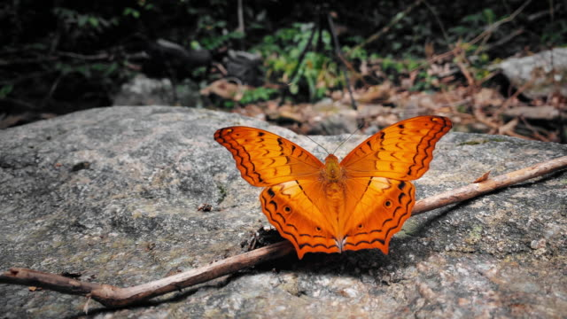 slo mo cu scene of orange butterfly flapping wings in the forest - animal wing stock videos & royalty-free footage