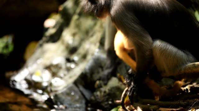 stockvideo's en b-roll-footage met scène van zuidelijk spectacled langur drinkwater in de aard van thailand, scène echt van dier in het wild - noord